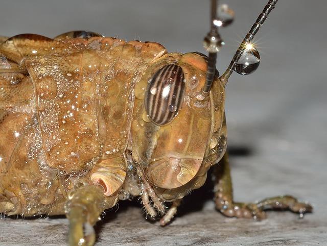 Grasshopper, Orthoptera, Locust, Egyptian