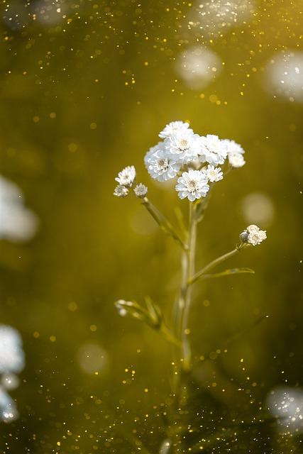 Ranunculus Aconitifolius, Eisenhut-crowfoot, Flower