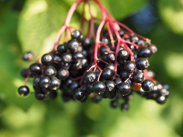 Elder, Elderberries, Berries, Fruits, Black Elderberry