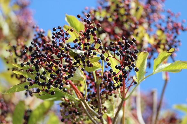 Elder, Black Elderberry, Sambucus Nigra, Holder