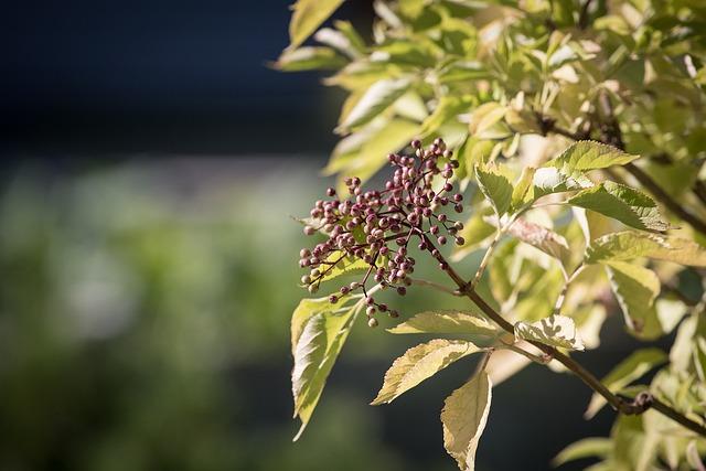 Elder, Holler, Holder Bush, Berries, Elderberries, Bush