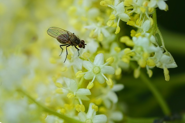 Insect, Fly, Elderflower, Elder