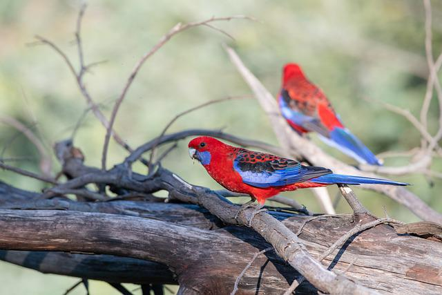 Crimson Rosella, Platycercus, Elegans, Bird, Avian