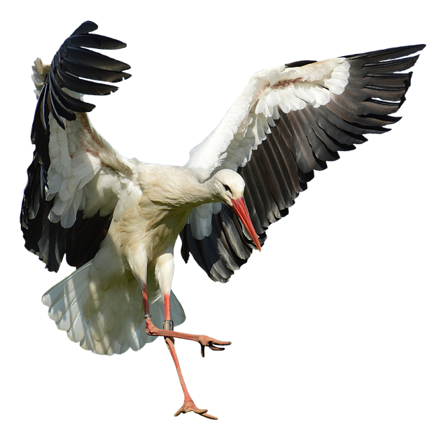 Stork, Fly, Landing, Elegant, Feather, Bird, Plumage