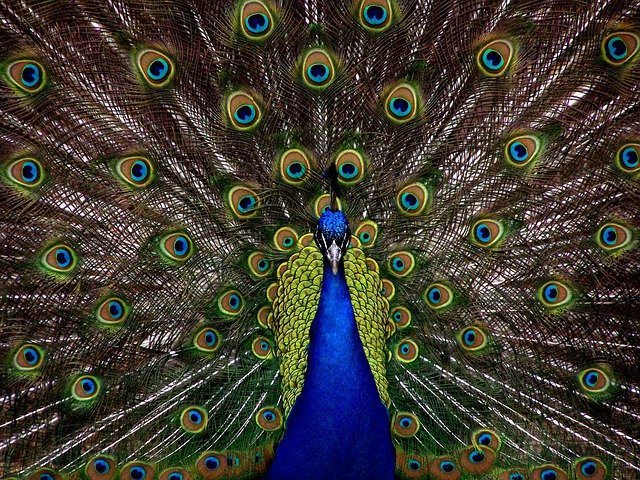 Peacock, Bird, Plumage, Display, Full, Elegant