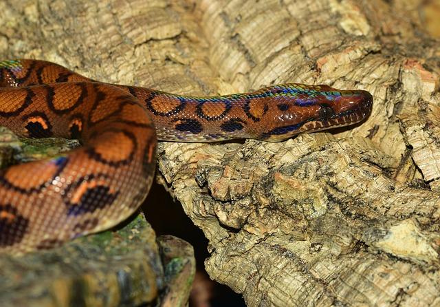 Snake, Red Rainbow Boa, Iridescent, Reptile, Elegant
