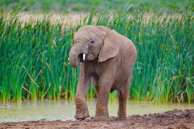 Elephant, South Africa, Addo National Park