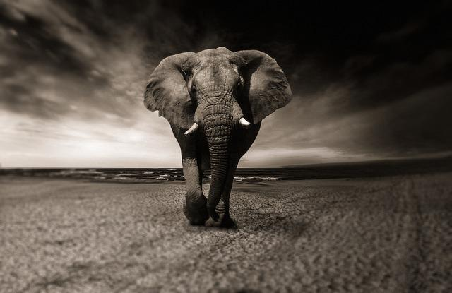 Elephant, Black And White, Animal, Africa, Safari