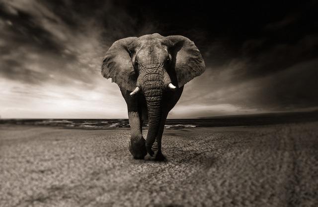 Elephant, Black And White, Animal, Africa, Safari