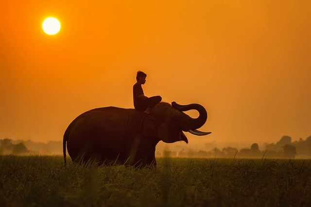 Animals, Asia, Cambodia, Cornfield, Elephant, Evening