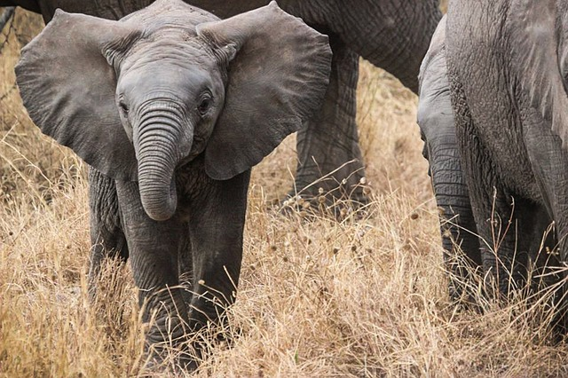 Elephant Baby, Safari, Elephants, Africa