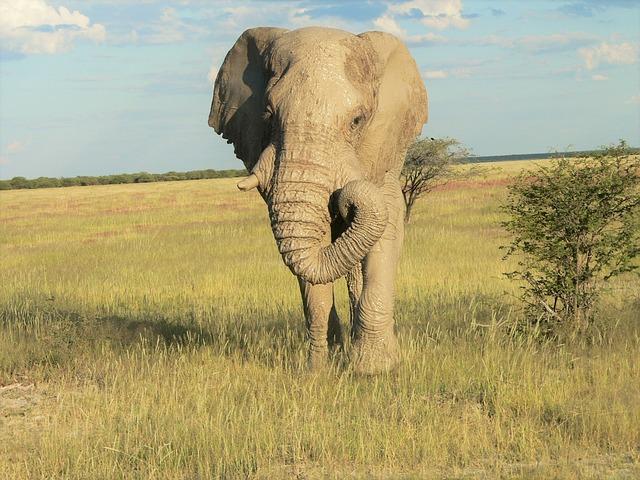 Elephant, Grass Landscape, Mud On Skin, Elephant Boy