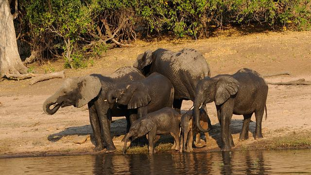 Chobe, Elephant Family, Africa, Botswana, Watering Hole