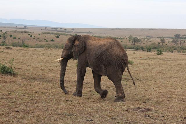 Massai Mara, Elephant, Kenya