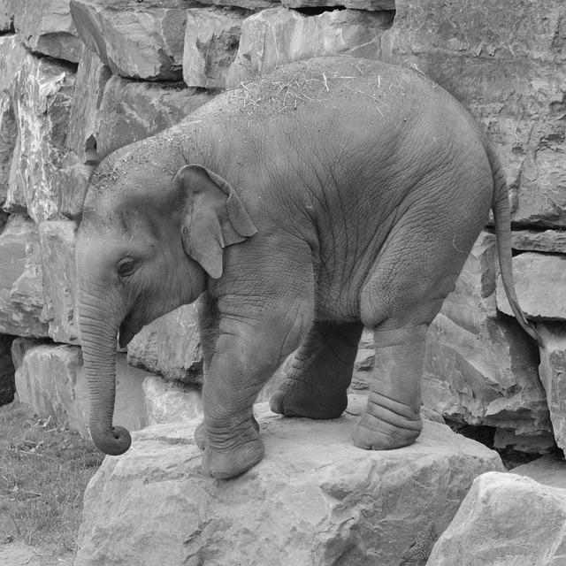 Elephant, Trunk, Animal, Mammal, Nature, Baby Elephant
