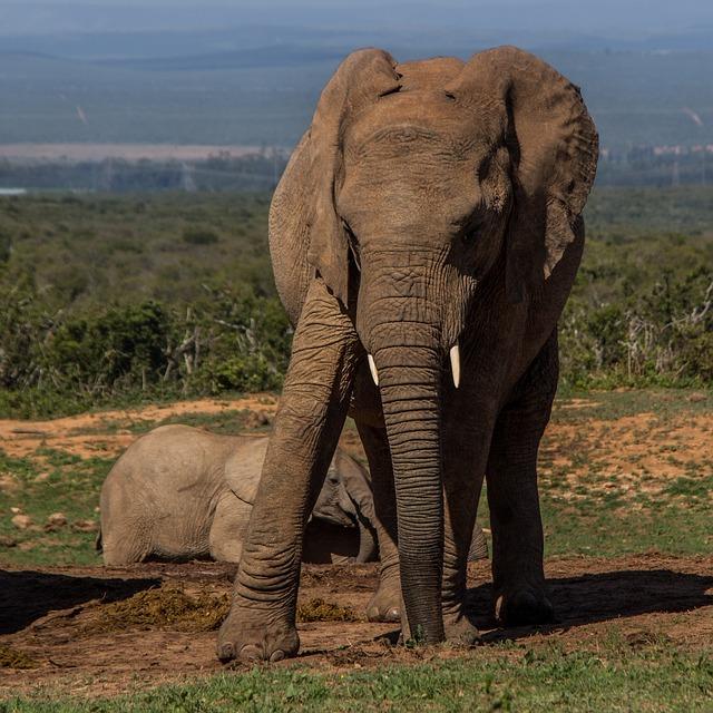 Elephant, Mammal, African Elephant, Wildlife, Safari