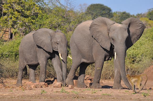 Elephant, Mammal, Wildlife, Nature, Safari, Animal
