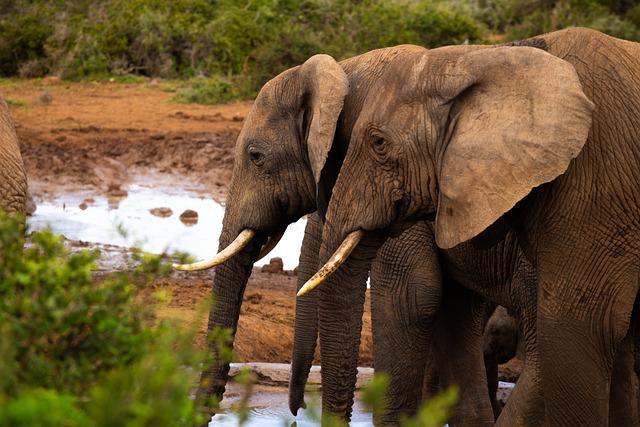 Elephants, Addo Elephant Park, Proboscis, Elephant
