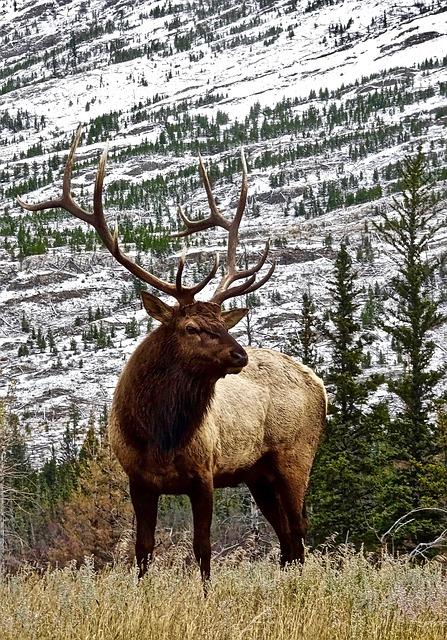 Stag, Elk, Antler, Male, Wilderness, Wildlife