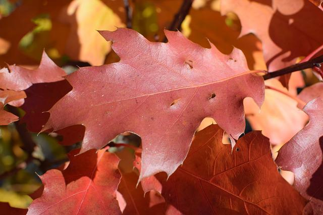Oak, Autumn, Red, Coloring, Tree, Forest, Emerge