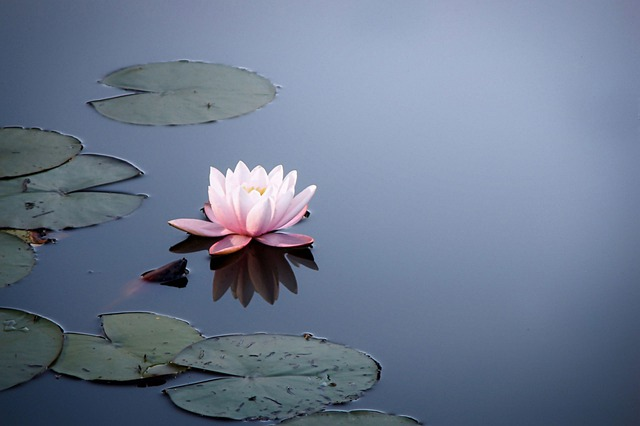 Water Lily, Empire, Water, Lily Pond, Garden Pond