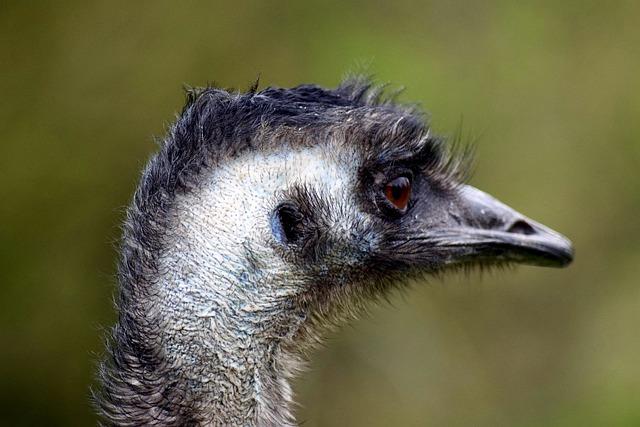 Emu, Flightless Bird, Head