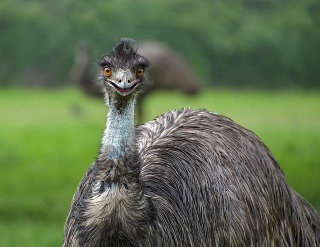 Emu, Smile, Bird, Portrait, Animal, Emu Australia
