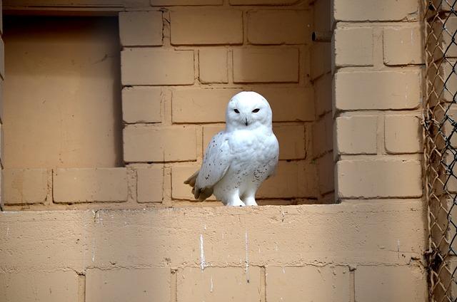 Snowy Owl, Bird, Raptor, Enclosure, Animal, White