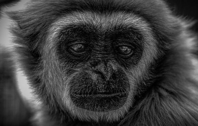 Gibbon, Wildlife, Indonesia, Mammal, Endangered, Face