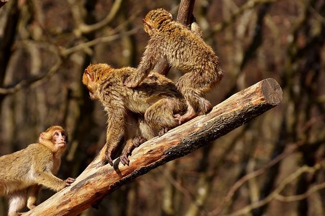 Berber Monkeys, Climb, Play, Cute, Endangered Species