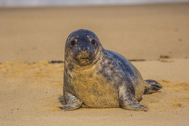 Seal Cub, England, Beach