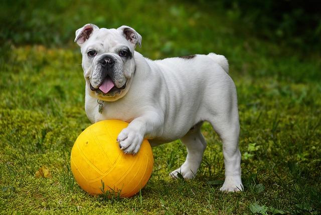 English Bulldog, Bulldog, Dog, Ball