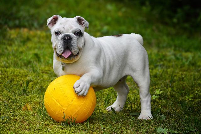 English Bulldog, Bulldog, Dog, Ball