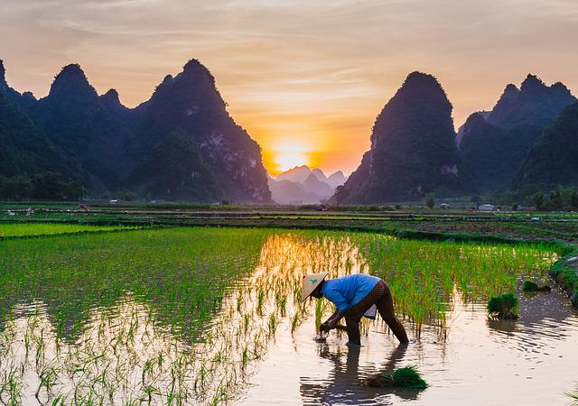 Rice Cultivation, Rice Fields, English Farmers
