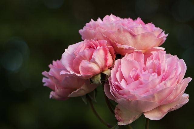 Roses, English Roses, My Garden Roses, Rosaceae