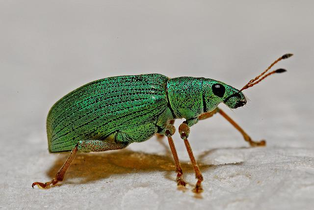 Weevil, Macro, Arthropod, Entomology, Insect, Zoology