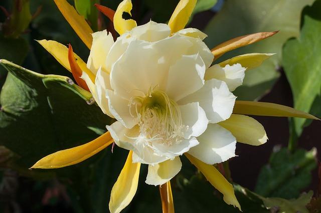 Leaf Cactus, Schuster Cactus, Epikaktus, Flower