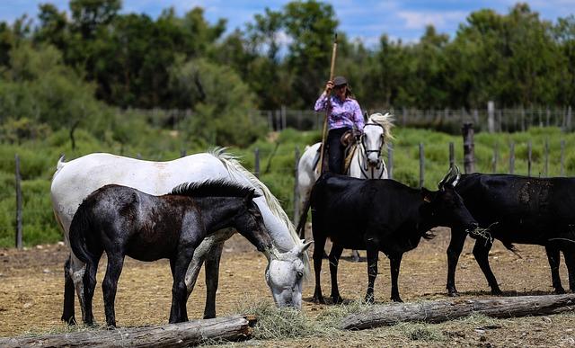 Camargue, Horses, Gardian, Manade, Equine, Stallion