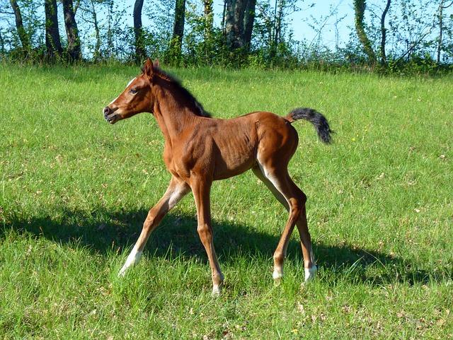 Horse, Pure Arab Blood, Breeding Horses, Equine, Pre