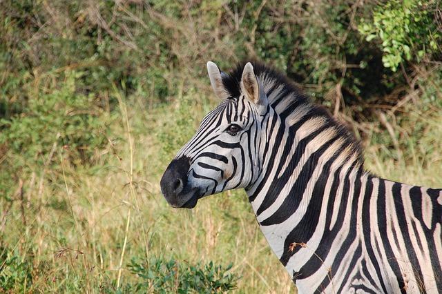 Zebra, Animal, Safari, Equine, Mammal, Wildlife, Fauna