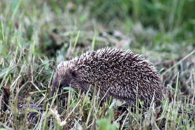Hedgehog, Erinaceus Amurensis, Amur Hedgehog