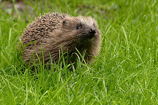Hedgehog, Erinaceus, Animal, Hannah, Mammal, Foraging
