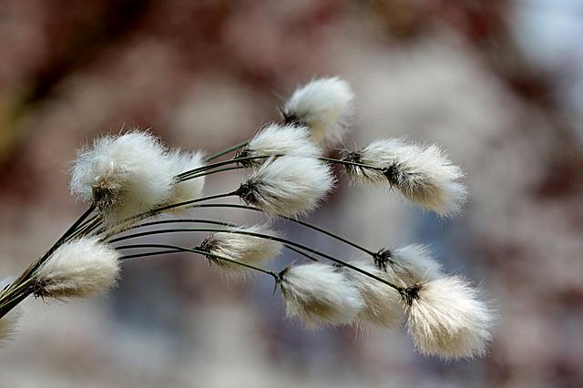 Grass, Cottongrass, Cotton Flower, Eriophorum, Moor