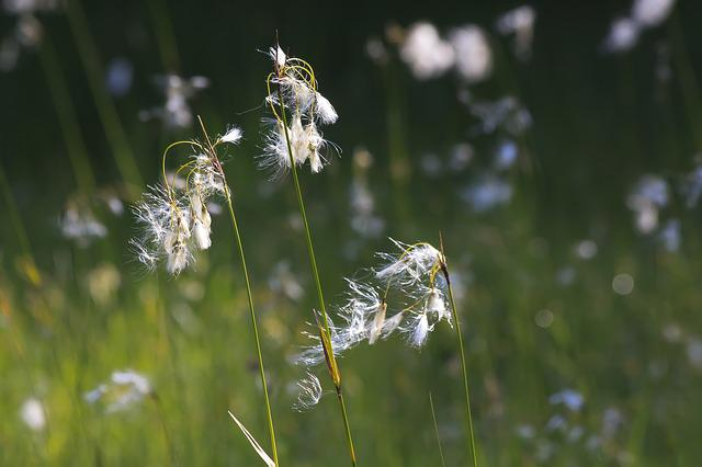 Cotton Grass, Eriophorum, Plant, Sour Grass Greenhouse