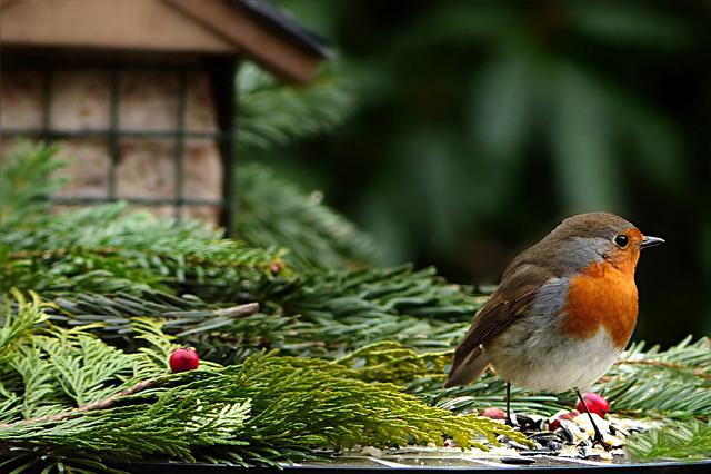 Animal, Bird, Robin, Erithacus Rubecula, Songbird