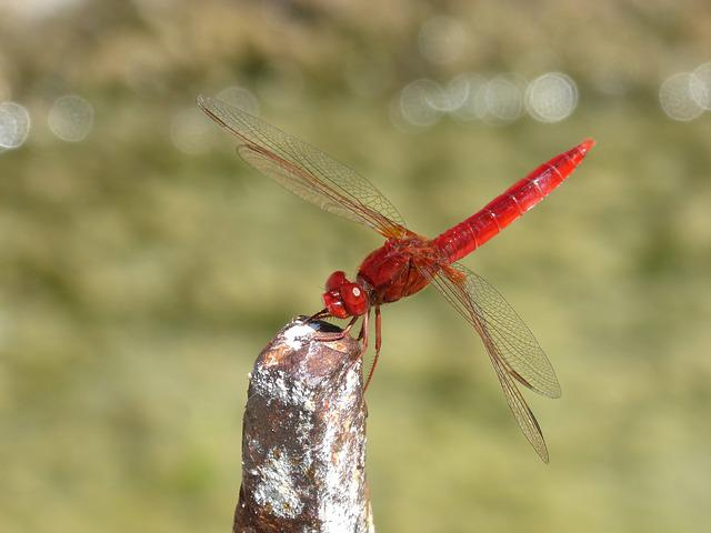 Red Dragonfly, Raft, Erythraea Crocothemis