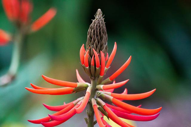 Erythrina Speciosa, Blossom, Bloom, Red, Inflorescence