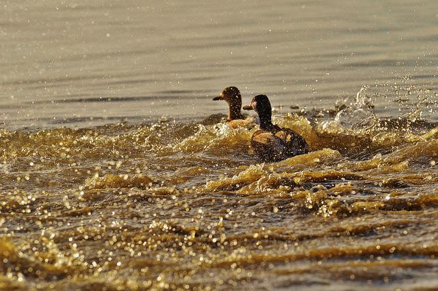 Ducks, Escape, Tracking, Riot, Pair, Water