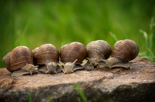 Snail, Escargots, Snails, Shell, Slowly, Mollusk, Crawl