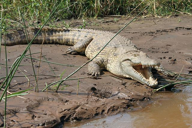 Crocodile, Lake, Chamo, Ethiopia